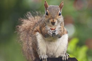 Squirrels may clean out bird nesting boxes and move in their families.