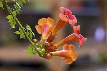 Trumpet vine flowers attract hummingbirds to the garden.
