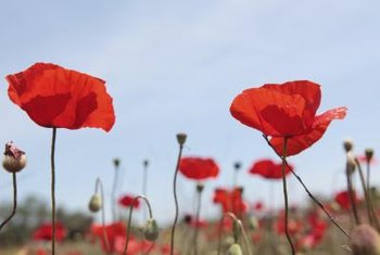 Propagation by root cuttings is a free method to fill your garden with red oriental poppies.