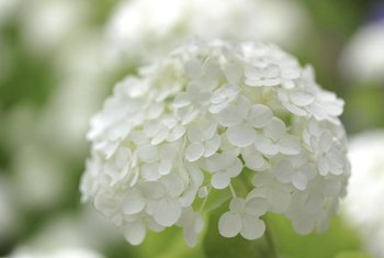 Many small flowers make up a hydrangea flower cluster.