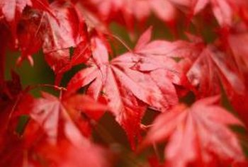 Does An Acer Palmatum Have Helicopter Seeds Home Guides Sf Gate