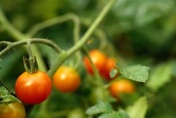 Inspect tomato plants for leaf curl, a sign of possible disease.
