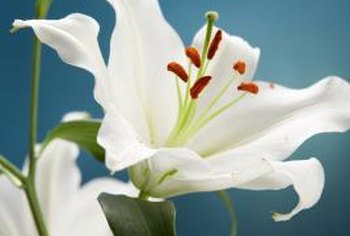 """Casa Blanca"" lilies are often used in cut flower arrangements."