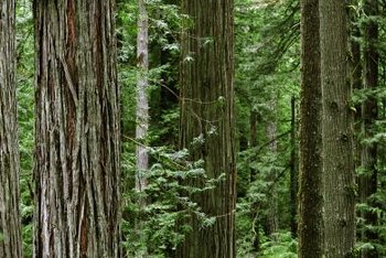Douglas fir and redwood trees frequently grow side-by-side.