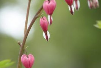The bleeding heart plant has pink heart-shaped flowers.