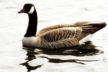 Geese seek out well-maintained lawns near water sources as places to rest and eat.