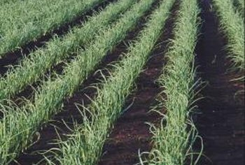 Onions thrive in fertile soil and plenty of sunshine.