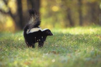 Skunks can dig holes in lawns and damage other plants.