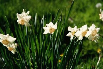 Daffodil flowering slows or stops for many reasons.