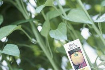 Buy stocky plants with dark green leaves.