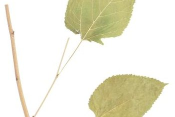 Poplar leaves have serrate leaf margins.