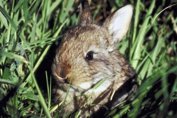 You can reduce rabbit populations by mowing tall grass and weeds that they use as shelter.