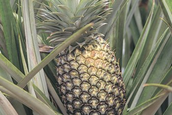 A pineapple plant's relatively small size makes it ideal for both outdoor and indoor growing.