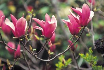 It is difficult to plant anything beneath a magnolia tree because its roots are so close to the soil surface.