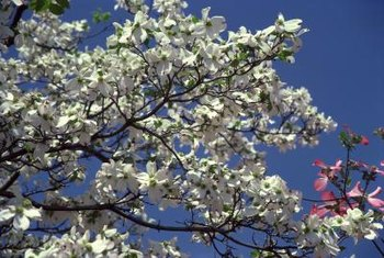 Spring-flowering dogwood trees produce clusters of scarlet red berries.