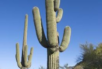 Majestic, tall cacti can use a sturdy staking to help them grow vertically.