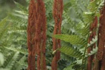 Cinnamon ferns are a low-maintenance fern species.