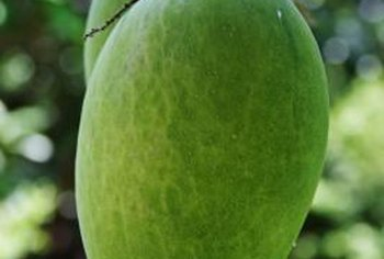 A mango tree grown from seed produces fruit in three to six years.