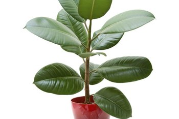 As a houseplant, the rubber tree (Ficus elastica) grows 2 to 10 feet tall.