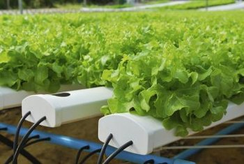 Loose Leaf Lettuce Thrives When Grown In An Nft System