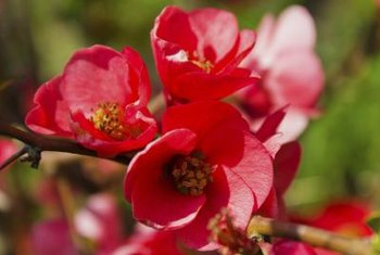 Small flowering shrubs for partial sun and easy maintenance home flowering quince shrubs bloom with pink flowers in multiple shades mightylinksfo