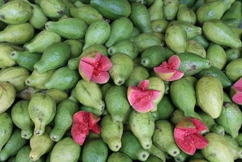 Healthy guava fruit grows in the tropics and subtropics.