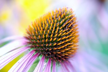 Coneflower is drought tolerant, attracts wildlife to the garden, and hardy in almost every state.