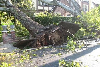 Trees tend to uproot more than break off during wind events.