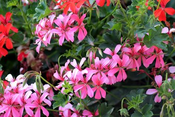 Geraniums have an extended flowering period.