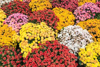 How to Care for Fall Mum Plants in Containers