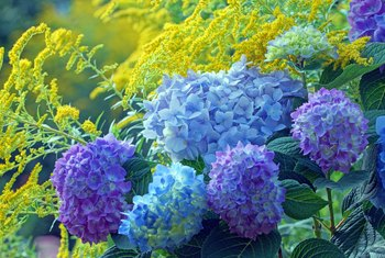 How to Cut Back Limelight Hydrangeas