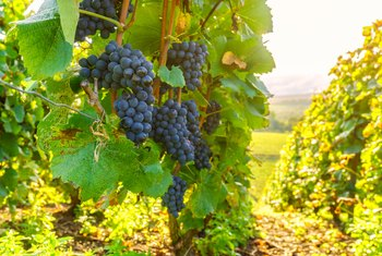 sale retailer b3e35 5d060 How to Transplant a Grape Vine