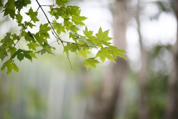 How to Grow Maple Tree Cuttings