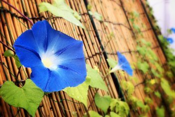 What Do I Do With Morning Glories When Winter Comes?
