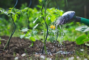 Will Roundup Weed Killer Get Into My Vegetables?