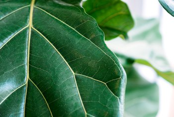 The Ficus Lyrata Leaves Are Turning Brown & Dropping