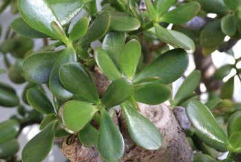 How to Make a Jade Plant Thicker