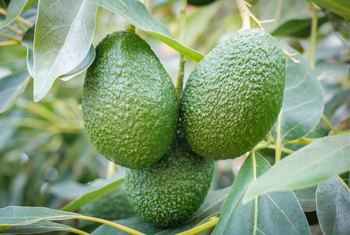How Much Coldness Can Avocado Trees Take Home Guides Sf Gate
