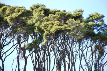 How to Grow a Manuka Tree