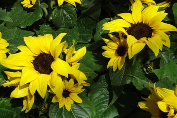 Caring for Potted Dwarf Sunflowers