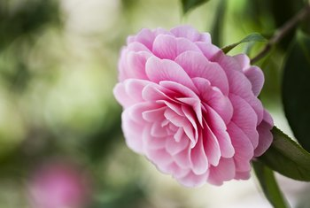 How to Grow Camellias From Cuttings