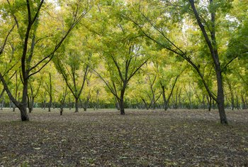 How to Plant Pecan Trees From Seed