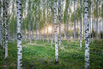 A Guide to Birch Tree Pests & Diseases