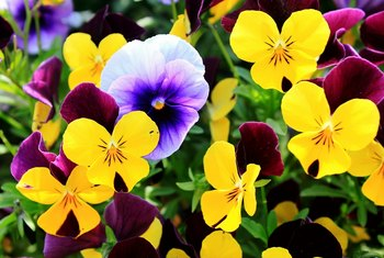 Can I Trim Pansies Without Killing Them?