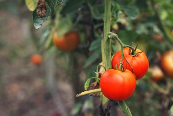 How to Save Wilted Tomato Plants