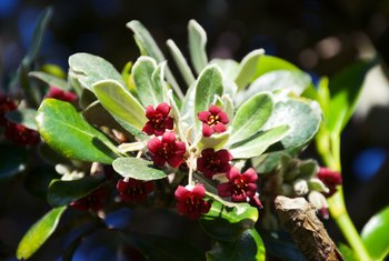 How to Prune Pittosporum