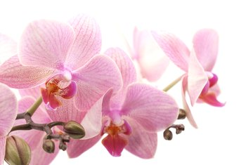 How to Make an Orchid Grow Another Stem