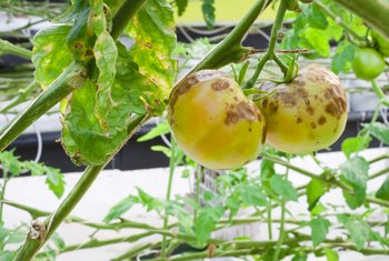 White and Sticky Plant Diseases