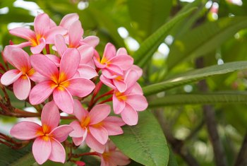 How to Trim a Frangipani Tree