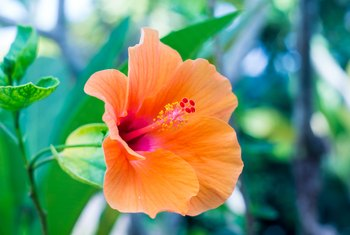 Can Hibiscus Flowers Hurt Dogs If They Eat the Blooms?
